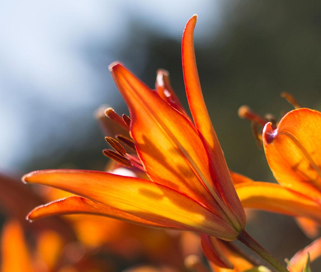 Luminous-Lily