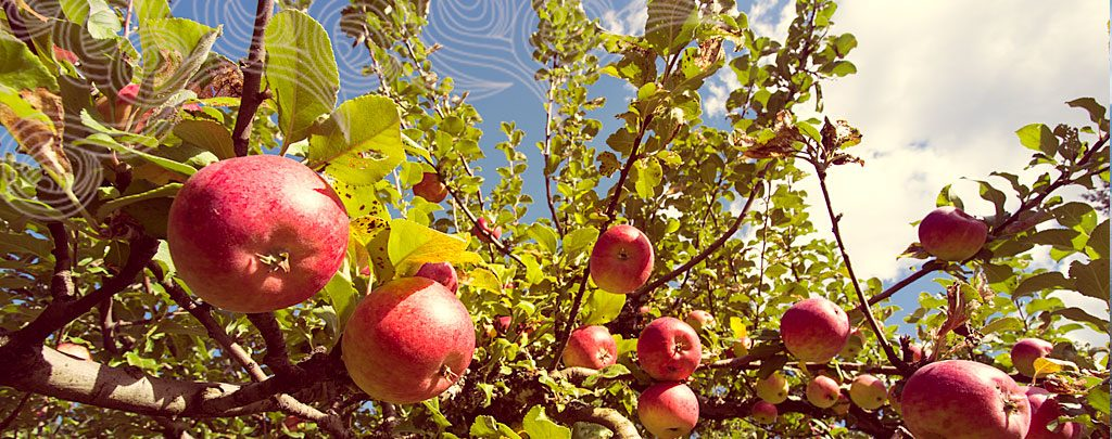 apples-02